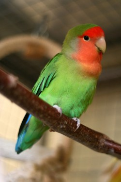 Agapornis_roseicollis_-Peach-faced_Lovebird_pet_on_perch